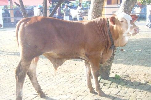 Bibit Sapi Siemental Uur  4 bulan berat 150kg