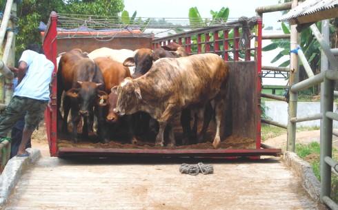 Saat penurunan sapi impor siap potong di Rumah Pemotongan Hewan