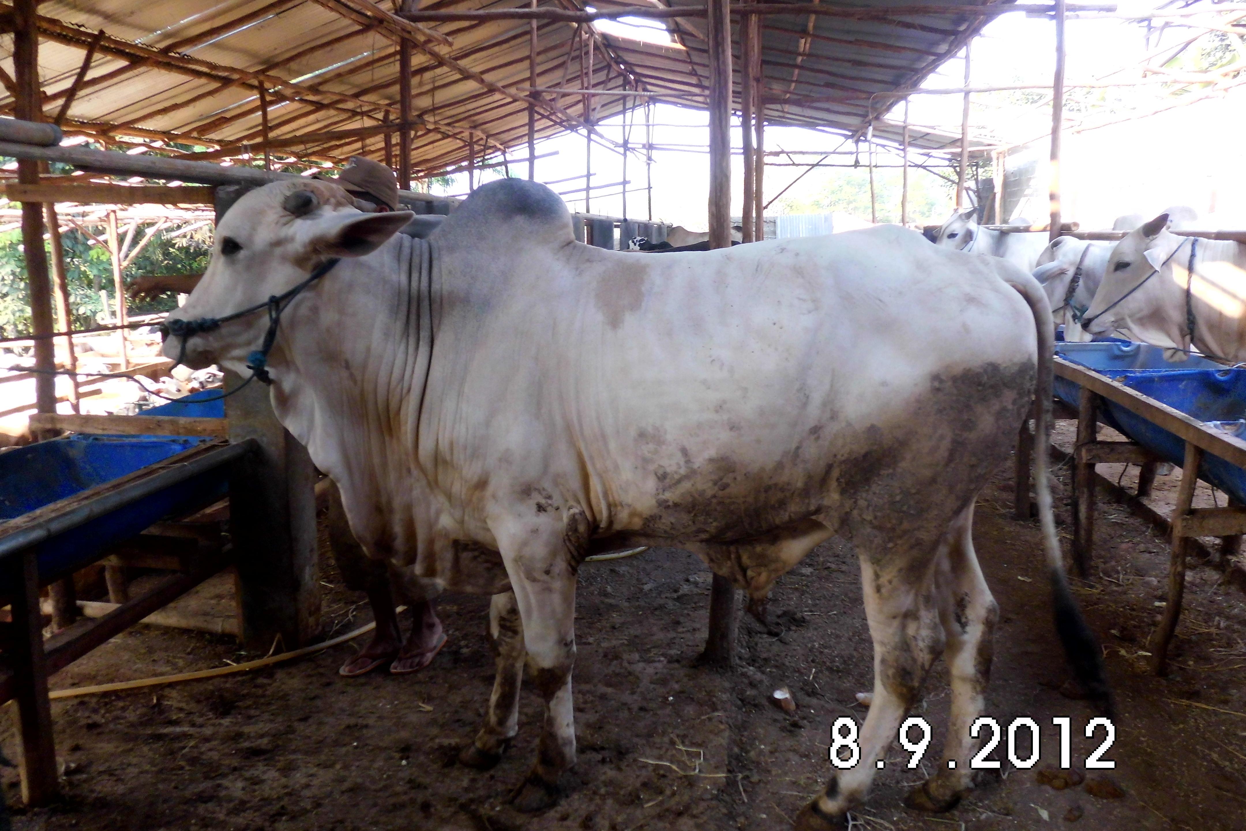 SAPI QURBAN PO - 300 KG