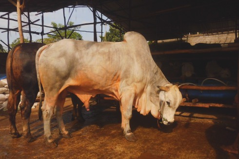 Sapi Brahman berat 900 kg