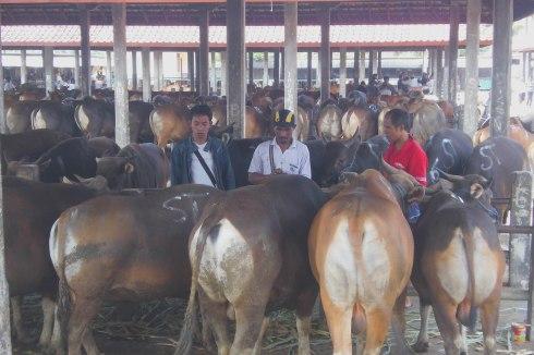 Suasana Transaksi Sapi di Pasar Hewan Beringkit. Pasar Terbesar di Bali