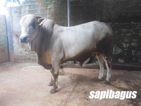 SAPI PO-400 KG